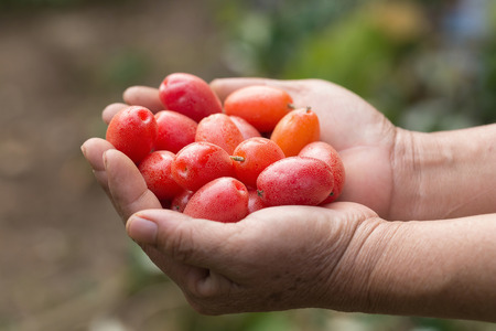 purgative: Ripe Elaeagnus latifolia fruits in hand. Stock Photo