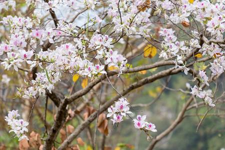 lomography: Bauhinia variegata  Selective focus.