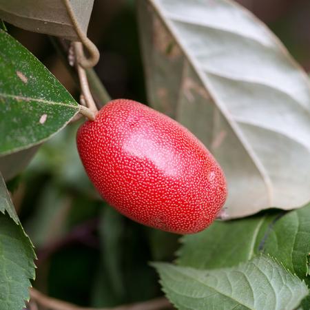 purgative: Ripe Elaeagnus latifolia fruits.