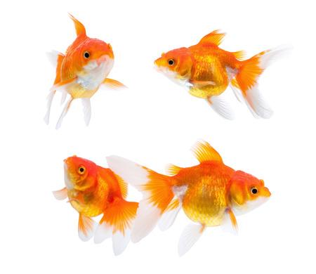 goldfish isolated: Goldfish isolated on white background