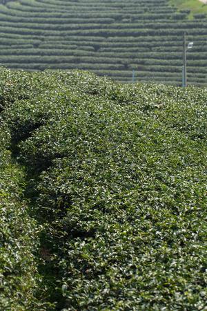tree plantation: tea tree plantation.