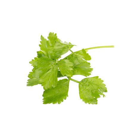 culantro: manojo de cilantro aislados en blanco.