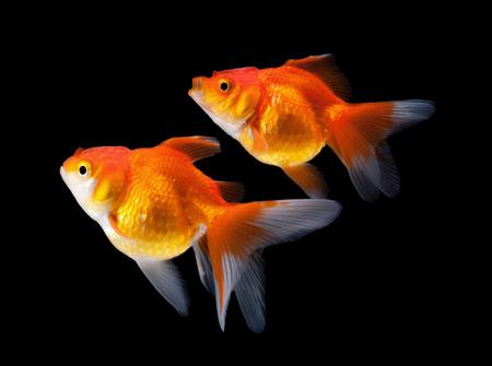 goudvis geïsoleerd op een zwarte achtergrond