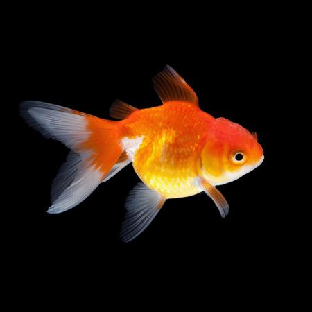 pez dorado: peces de colores aislados sobre fondo negro Foto de archivo