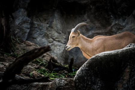 mountain goats: Mountain goats in National Park.