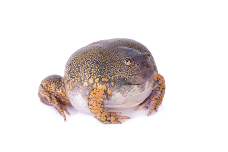 swell: Truncate Snouted Spadefoot Frog on white background. Stock Photo