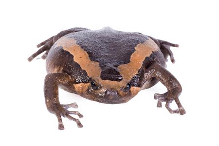 bullfrog: Banded bullfrog on white background. Stock Photo