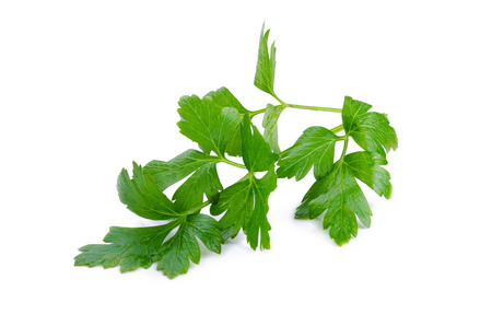 Coriander bunch isolated on white.