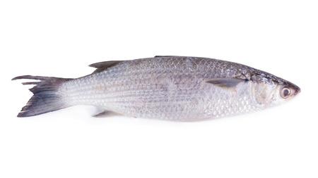 flathead: Grey Mullet or flathead mullet fish (Mugil cephalus) isolated on white background