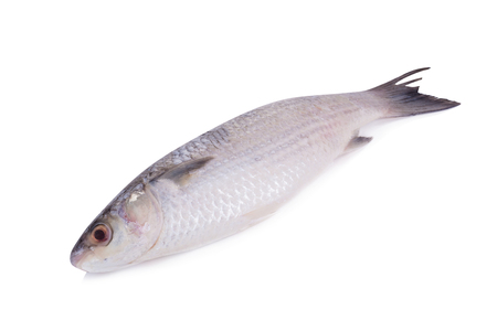 Grey Mullet or flathead mullet fish (Mugil cephalus) isolated on white background