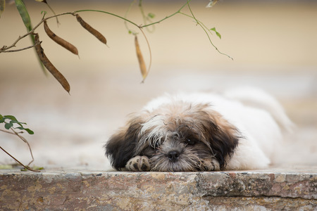 shihtzu: Cute Shih-tzu puppy lay down on ground