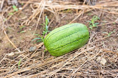luffa: Luffa gourd plant in garden, luffa cylindrica Stock Photo