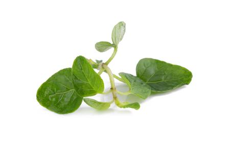 potherb: fresh Oregano herb on white background