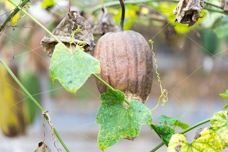 Luffa gourd plant in garden, luffa cylindrica Stock Photo