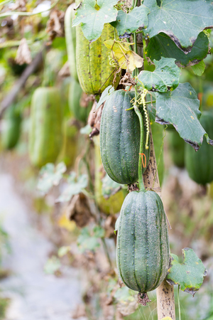 Luffa gourd plant in garden, luffa cylindrica Stock Photo