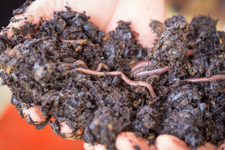 earthworm on a heap of soil on hands. Selective focus.