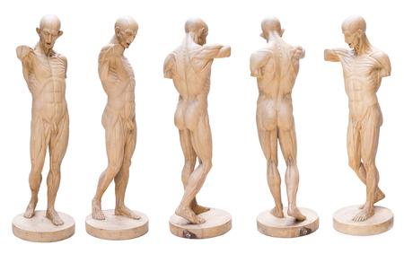 Model Emulation Resin Muscular Human Anatomy Model For Art Stock ...
