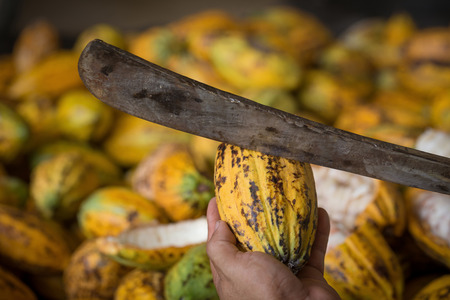 healthful: Cacao pod cut open to show cacao beans inside in Thailand.