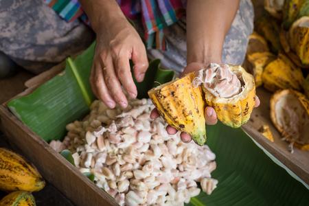 eröffnet rohe frische Kakaopulpe in Händen mit Bohnen im Inneren