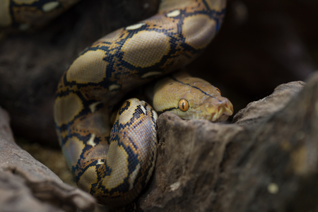 Spirale: Reticulated python, Boa constrictor snake on tree branch.