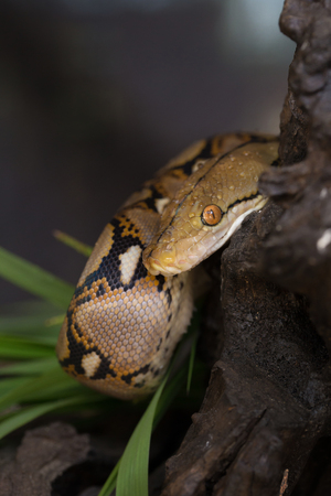 Reticulated python, Boa constrictor snake on tree branch.