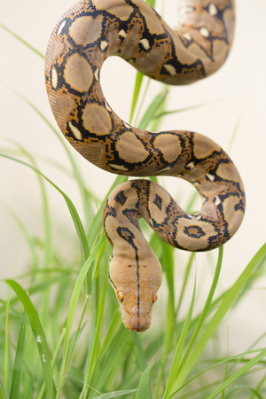 Reticulated python, Boa Snake in the grass, Boa constrictor snake on tree branch.