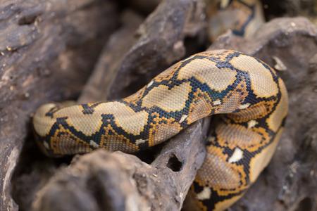 close up Pattern Boa Snake skin abstract textured. Stock Photo