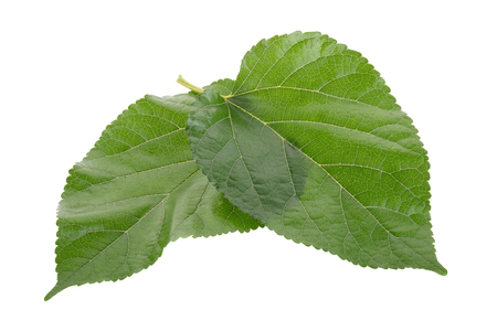 Mulberry leavesisolated on over white background.