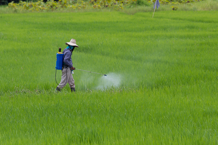farmer spraying pesticide in the rice field protection pest.