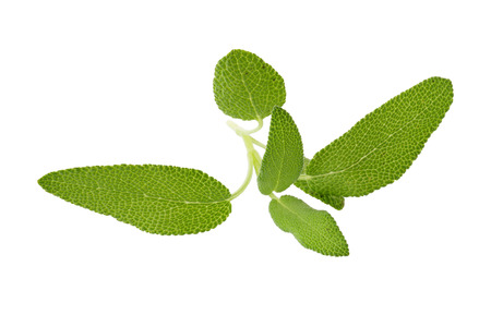 Sage plant isolated on a white background.