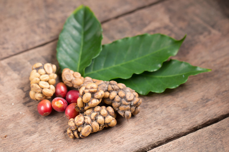 Kopi luwak or civet coffee, Coffee beans excreted by the civet. Stock Photo