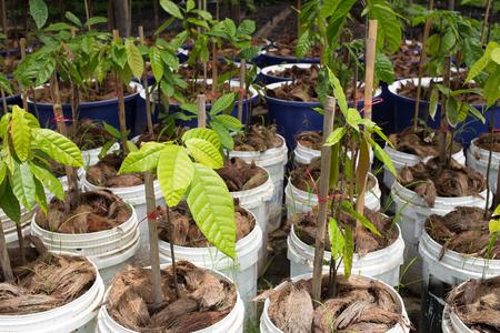 Small cocoa tree on the farm plantation.