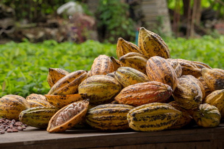 Raw Cocoa beans and cocoa pod on a wooden surface. Stock Photo