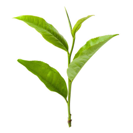 Green tea leaf isolated on a white background.