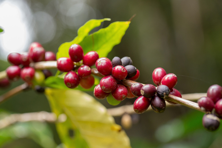 Close up, Arabica coffee berrys ripening on tree in North of thailand.