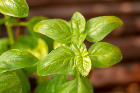 Fresh green basil leaves close-up, Fresh organic basil plant grows up in garden. Banque d'images - 97603263