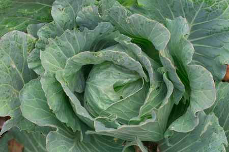 Cabbage closeup. freshly growing cabbage field, cabbage hurvest concept.