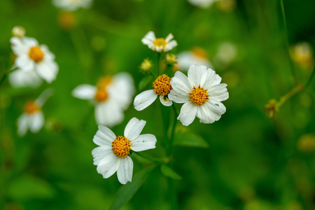 Close up blooming white plains blackfoot daisy in green natural field background.