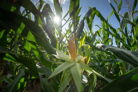 Yellow corn cob in green leaves on a farm field. And laboratory test of harvest.