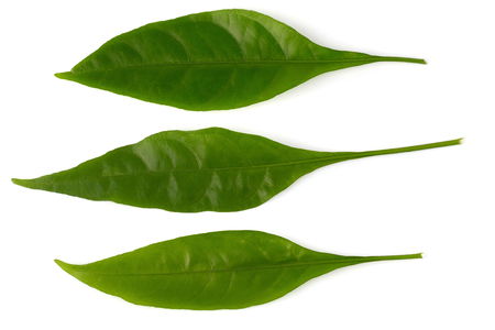 Pseuderanthemum palatiferum (Nees) Radlk, green leaves are medicinal herbs. Stock Photo
