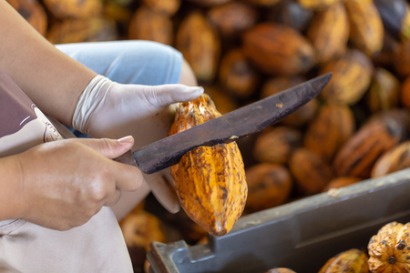 man holding a ripe cocoa fruit with beans inside and Bring seeds out of the sheath