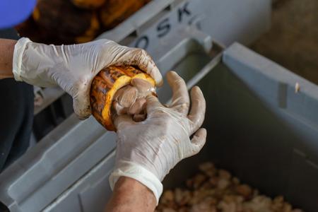 Mann, der eine reife Kakaofrucht mit Bohnen im Inneren hält und Samen aus der Scheide holt Standard-Bild