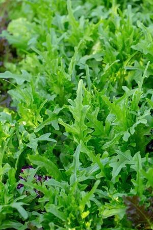 Fresh hydroponics vegetable farm, Salads vegetable hydroponics farm. Фото со стока