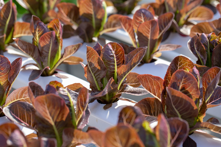 Red Cos lettuce leaves, Salads vegetable hydroponics farm.
