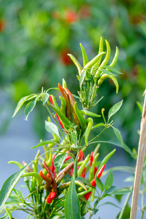 Ripe Red and Green chilli on a tree, Green chilies grows in the garden. Stock Photo