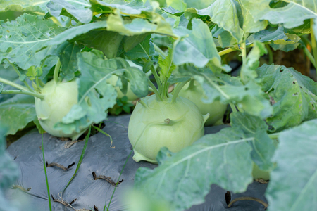 Kohlrabi cabbage or turnip plant growing in the agricultural farm.