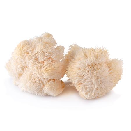 Seta Yamabushitake o seta de melena de león aislado sobre fondo blanco.
