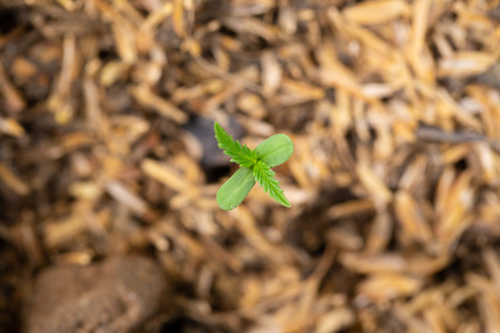 Cannabis seedlings that are sprouting in seed bags
