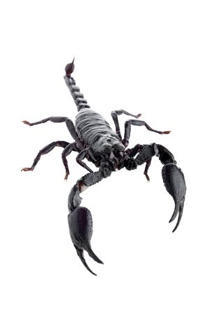 Black scorpions isolated on a white background.