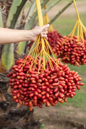 Date palms fruits on a date palms tree. grown in the north of Thailand. 免版税图像